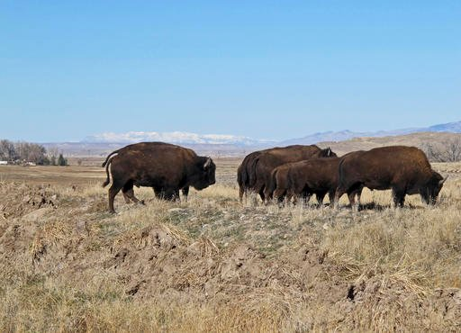 Buffalo explore their new terrain after their release from a corral south of Pilot Butte, on the Wind River Indian Reservation, Wyo., on Thursday, Nov. 3, 2016.
