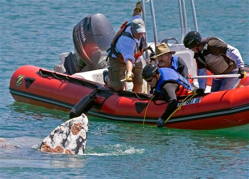 Members of the Pacific Marine Mammal Center in Laguna Beach and Sea World, San Diego remove netting entangled on the body of a young gray whale in Dana Point Harbor on Wednesday, May 12, 2010 allowing the mammal to swim out to deeper water.