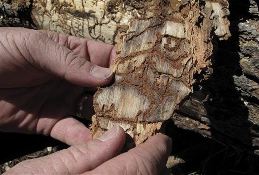 In this June 6, 2016 file photo, Division Chief Jim McDougald of the California Department of Forestry and Fire Protection holds a piece of tree bark showing burrowing marks from a bark beetle infestation near Cressman, Calif.