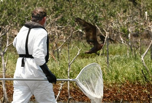 A Louisiana Fish and Wildlife officer unsuccessfully pursues an oil soaked pelican in Barataria Bay, just inside the the coast of Louisiana, Sunday, May 23, 2010. (AP Photo/Gerald Herbert)