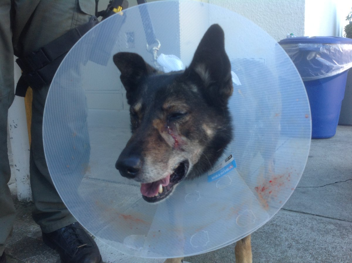 This picture shows K-9 Banjer who received stitches for his wound. He will be on light duty and training as he recovers. ( Photo courtesy: @SDSheriff | December 3, 2016)