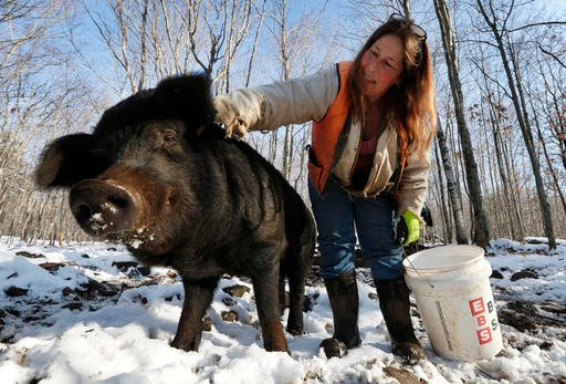 In this Thursday, Dec. 8, 2016, photo Susan Frank pets one of her mulefoot pigs at Dogpatch Farm in Washington, Maine.