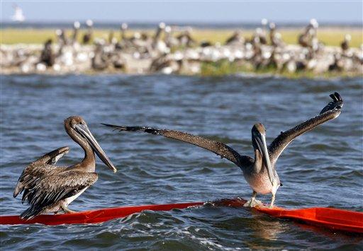 Brown pelicans try to balance on an oil boom near Martin Island in St. Bernard Parish, La., Wednesday, July 21, 2010. (AP Photo/Patrick Semansky)