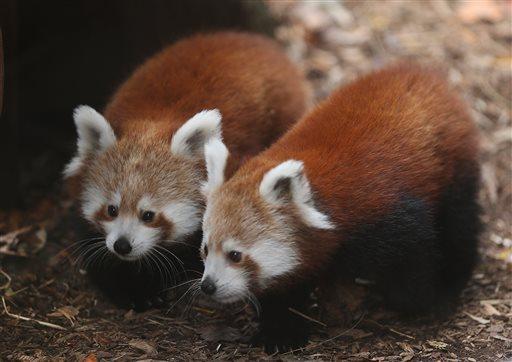 Red panda cubs, born in June, make their public debut at the Philadelphia Zoo, Wednesday, Nov. 18, 2015, in Philadelphia.