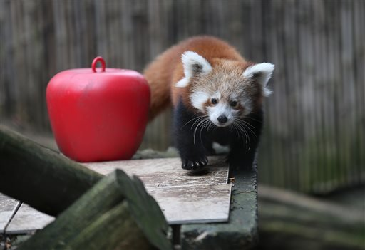 A female red panda cub, born in June, explores her habitat as she and a male cub make their public debut at the Philadelphia Zoo on Wednesday, Nov. 18, 2015, in Philadelphia.