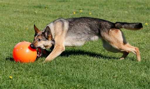 Gina was a playful 2-year-old German shepherd when she went to Iraq as a highly trained bomb-sniffing dog with the U.S. military, but months of door-to-door searches and noisy explosions left her cowering and fearful.