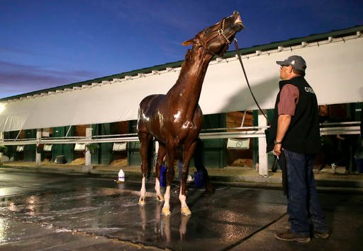 California Chrome is bathed following a workout in preparation for the inaugural running of the $12 million Pegasus World Cup horse race at Gulfstream Park, Friday, Jan. 27, 2017, in Hallandale Beach, Fla.