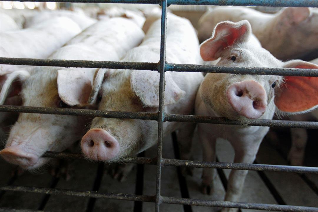 The pork industry hopes to boost hog production enough before the craving for bacon, lettuce and tomato sandwiches reach a peak this summer, so bacon lovers may see higher prices but not a panic situation. (AP Photo/M. Spencer Green, File)