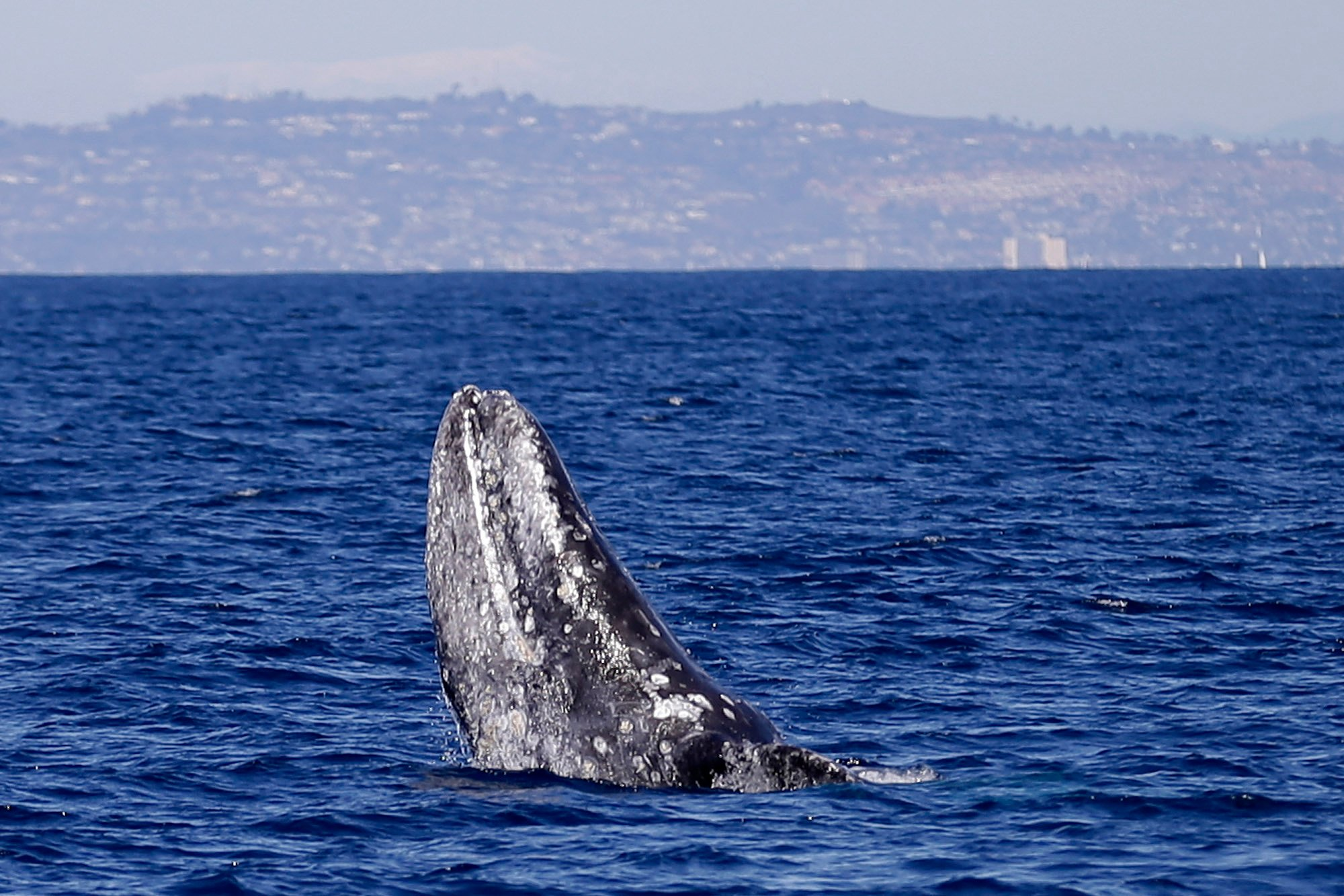 A file photo of a gray whale off the coast of San Diego (AP Photo/Gregory Bull)