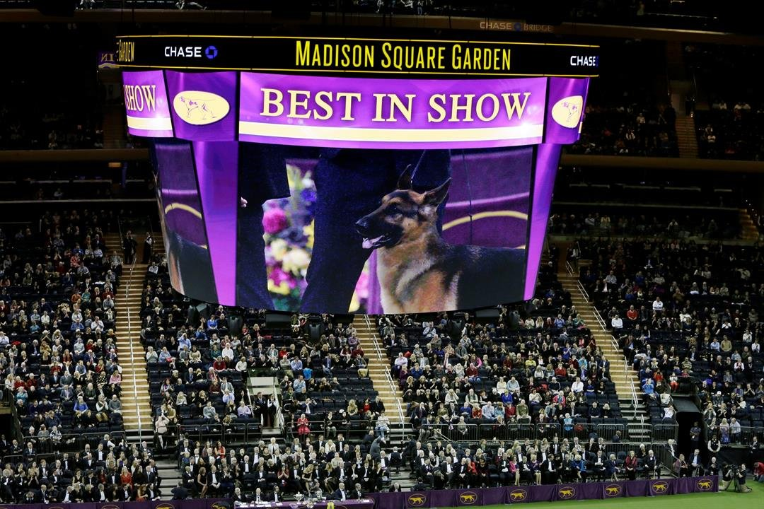 A video screen shows an image of Rumor, a German shepherd who won Best In Show, at the 141st Westminster Kennel Club Dog Show early Wednesday, Feb. 15, 2017, in New York. (AP Photo/Frank Franklin II)