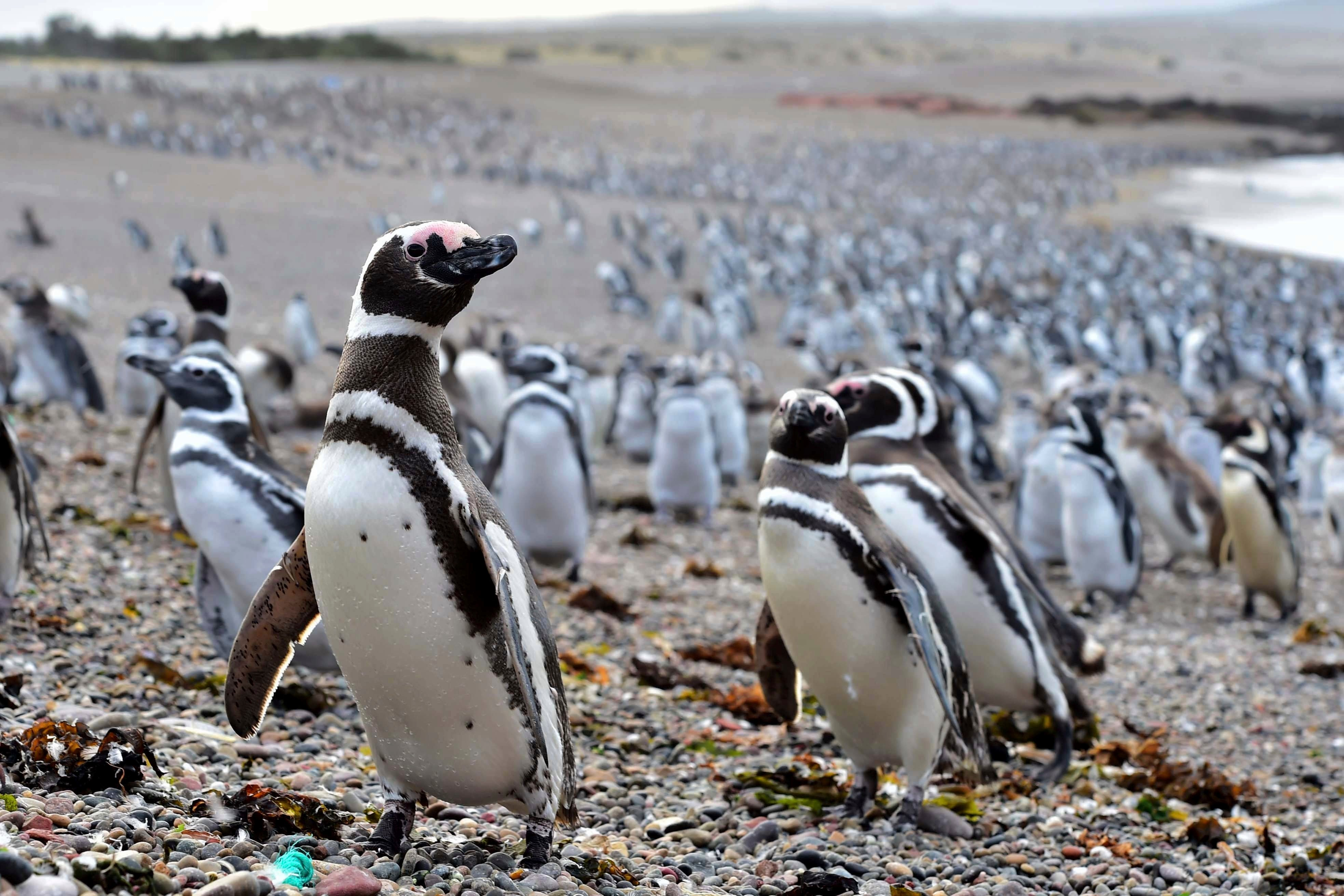 Drawn by an unusually abundant haul of sardines and anchovies, over a million penguins visited the peninsula during this years' breeding season, a recent record number according to local officials. Punta Tombo represents the largest colony of Magellanic p