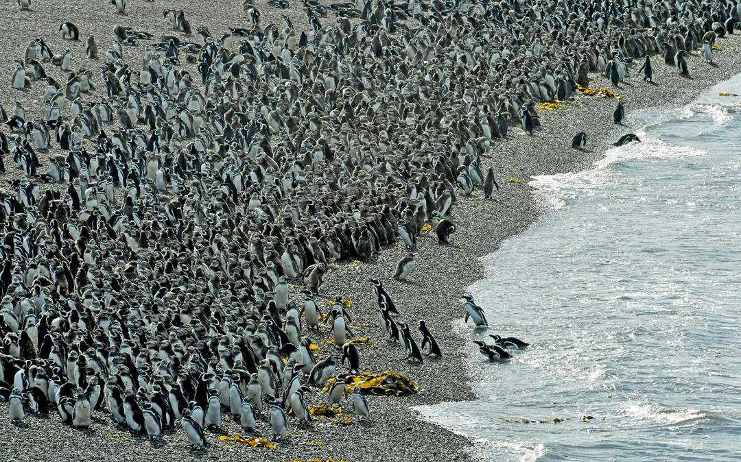 Penguins pack on a beach at Punta Tombo peninsula in Argentina's Patagonia, on Friday, Feb. 17, 2017. (AP Photo/Maxi Jonas)