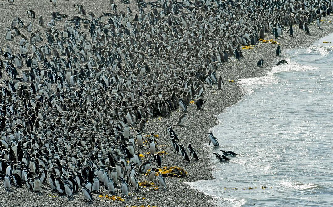 Penguins pack on a beach at Punta Tombo peninsula in Argentina's Patagonia, on Friday, Feb. 17, 2017. (AP Photo/Maxi Jonas)