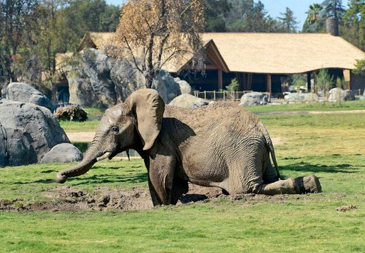 In an Oct. 10, 2015 photo, Vus'Musi, a male African elephant, frolics in a mud wallow at the Fresno Chaffee Zoo's African Adventure exhibit in Fresno, Calif.