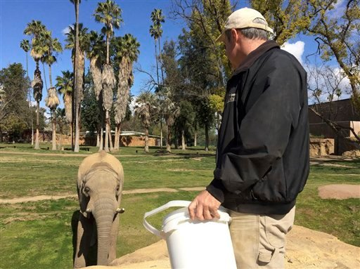 Vus'Musi visits Vernon Presley, elephant curator at Fresno Chaffee Zoo, to get a piece of fruit Tuesday, March 7, 2017.