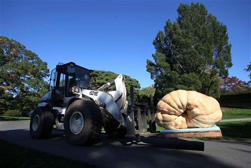 A forklift moves the largest pumpkin in the world, weighing 1,810.5 pounds, into place for display at the New York Botanical Garden in New York, Thursday, Oct. 21, 2010.