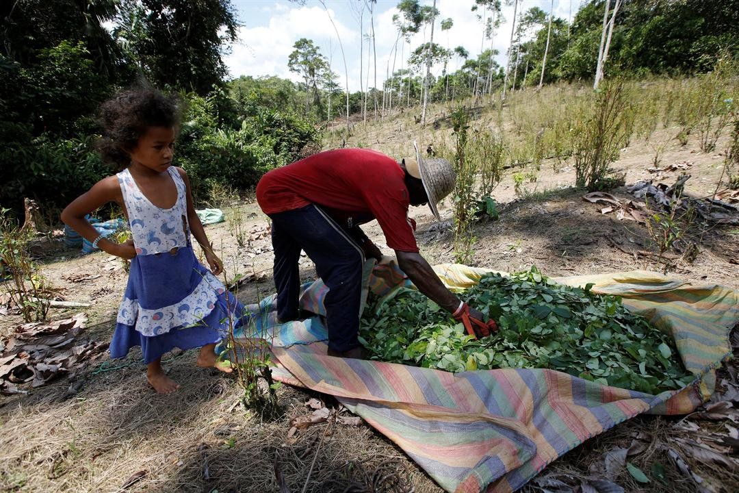 In this March 3, 2017 photo, workers harvest coca leaves in Puerto Bello, in the southern Colombia's state of Putumayo.  (AP Photo/Fernando Vergara)