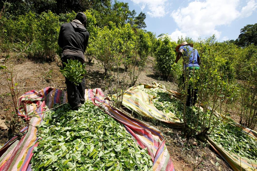 Coca cultivation surged last year and now covers more territory than it did when a multibillion U.S.-led eradication campaign began 16 years ago, according to a new survey published Tuesday of illegal crops taken by the U.S. government. (AP Photo/Fernando