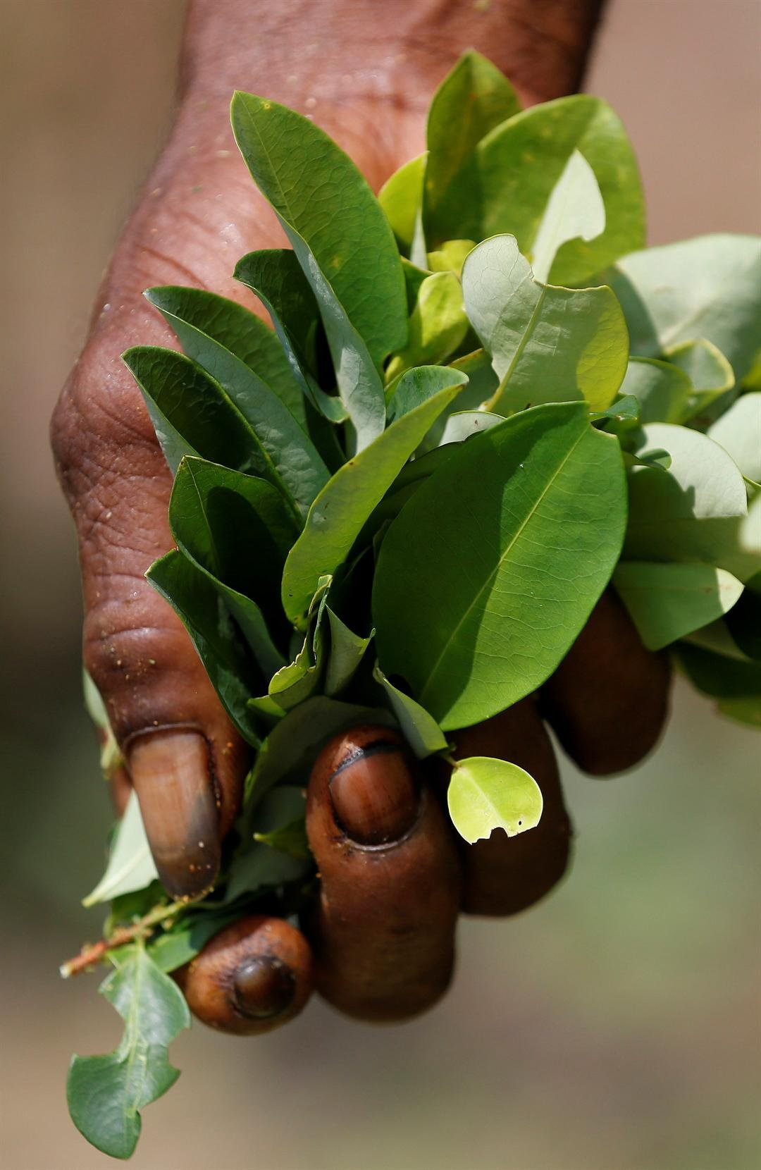 In this March 3, 2017 photo, a coca picker holds a bunch of coca leaves in Puerto Bello, in the southern Colombia's state of Putumayo.  (AP Photo/Fernando Vergara)