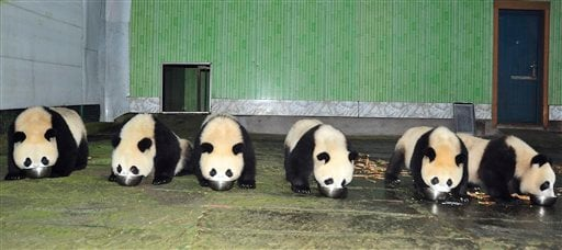 In this Monday, Oct. 25, 2010 photo, six pandas selected for display at the upcoming Asian Games eat a meal at the Wolong China Pandas Protection and Research Center at Bifengxia base in Ya'an in southwestern China's Sichuan province.
