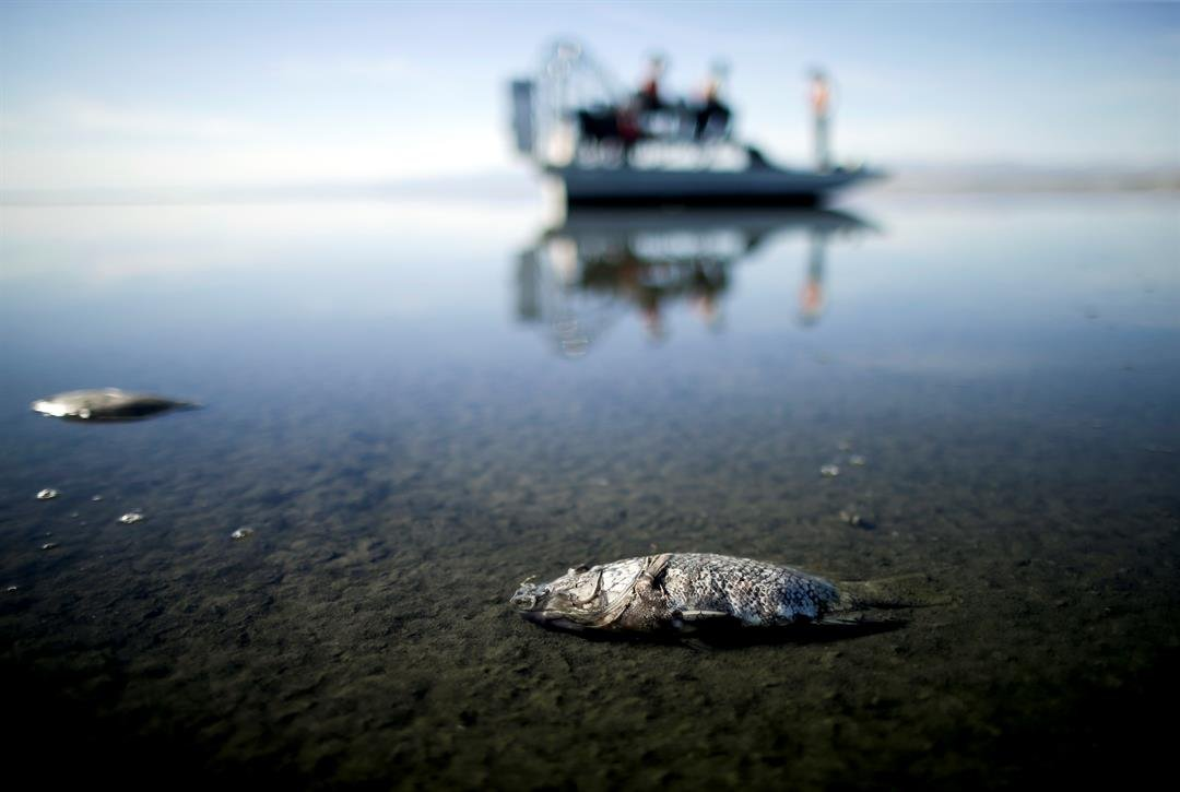 FILE - In this April 29, 2015 file photo oxygen-starved tilapia floats in a shallow Salton Sea bay near Niland, Calif. It's expected to evaporate at an accelerated pace starting next year when the San Diego region no longer diverts water to the desert reg