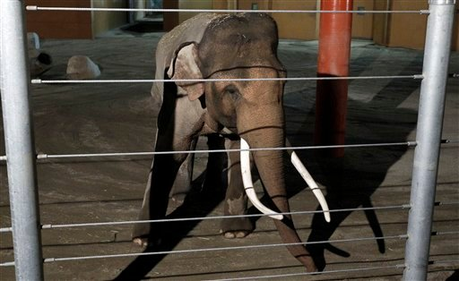 Billy the elephant is seen during the Elephants of Asia opening celebration at the Los Angeles Zoo in Los Angeles on Wednesday, Dec. 15, 2010. (AP Photo/Matt Sayles)