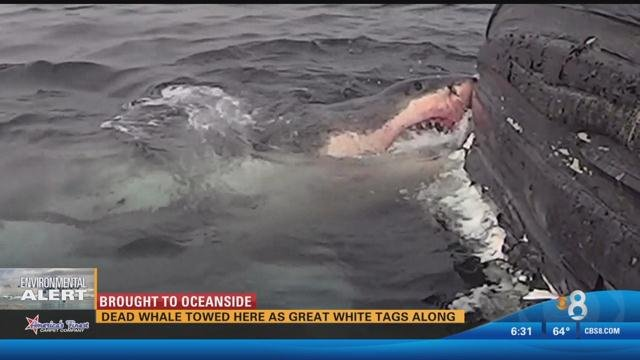 Great white shark feasts on dead humpback whale