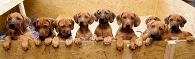 Nine Rhodesian Ridgeback puppies from a litter of 17, look out of their box in Nauen, 50 kilometers outside Berlin on Monday, Dec. 20, 2010. On Sept 28, and 29, 4 years old Ridgeback Etana had 17 puppies. All of them survived.