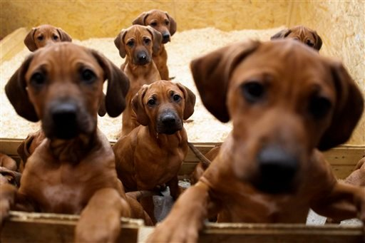Seven Rhodesian Ridgeback puppies from a litter of 17 look out of their box in Nauen, 50 kilometers outside Berlin on Monday, Dec. 20, 2010. On Sept 28, and 29, the 4 years old Ridgeback Etana had 17 puppies. All of them survived.