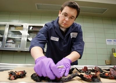 Assistant State Veterinarian Dr. Brandon Doss examines dead red-winged blackbirds at the Arkansas Livestock and Poultry Commission Diagnostic Laboratory in Little Rock, Ark., Monday, Jan. 3, 2011.