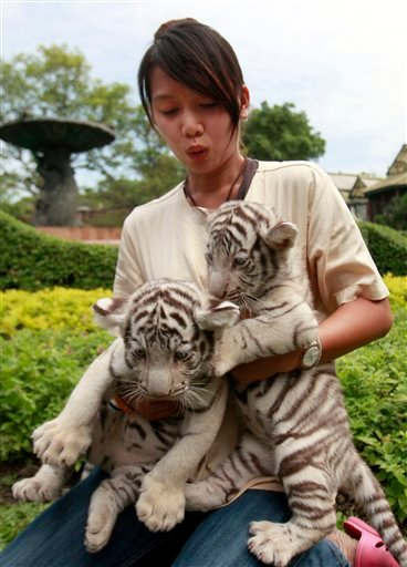 A Dusit Zoo official holds two one-month-old female White Bengal tiger cubs as they are being introduced as new members of the zoo Thursday, Jan. 6, 2011 in Bangkok, Thailand. (AP Photo/Apichart Weerawong)