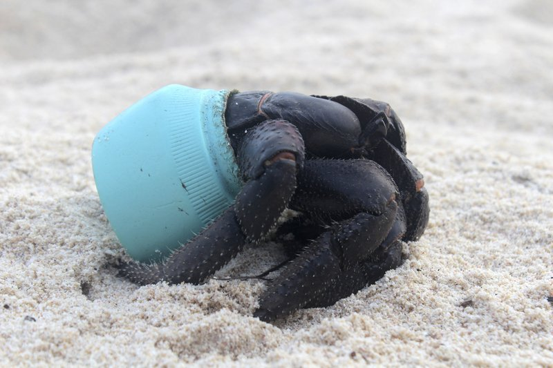 In this 2015 photo provided by Jennifer Lavers, a crab uses as shelter a piece of plastic debris on the beach on Henderson Island.
