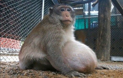 "A wild obese macaque, named ""Uncle Fat"" who was rescued from a Bangkok suburb, sits in a rehabilitation center in Bangkok, Thailand."