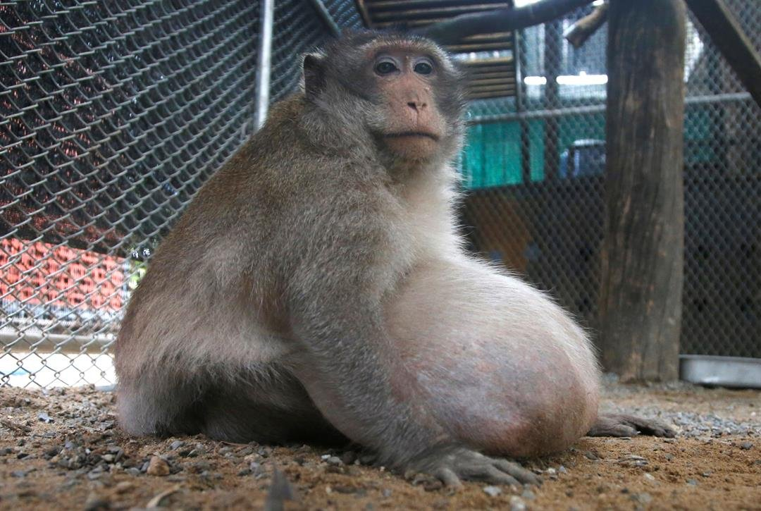 "A wild obese macaque, named ""Uncle Fat"" who was rescued from a Bangkok suburb, sits in a rehabilitation center in Bangkok, Thailand, Friday, May 19, 2017.  (AP Photo/Sakchai Lalit)"