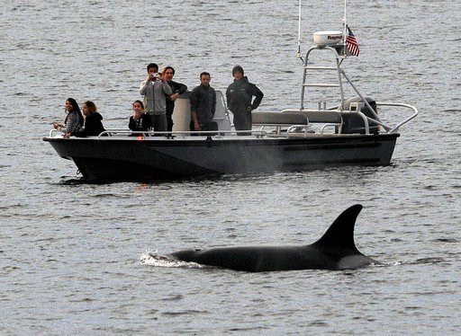 File - In this Dec. 20, 2016, file photo, whales are seen off the coast of Long Beach, Calif., from the La Espada whale watching ship from Harbor Breeze Cruises.  (AP Photo/Nick Ut, File)