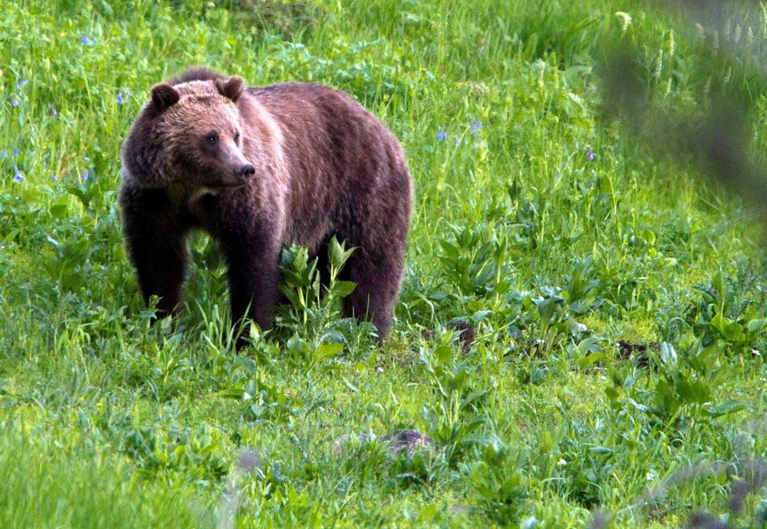 FILE - This July 6, 2011, file photo shows a grizzly bear roaming near Beaver Lake in Yellowstone National Park, Wyo. (AP Photo/Jim Urquhart, File)
