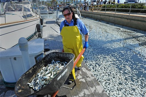 Annette Burch gathers up dead fish in the King Harbor area of Redondo Beach, south of Los Angeles, Tuesday, March 8, 2011.