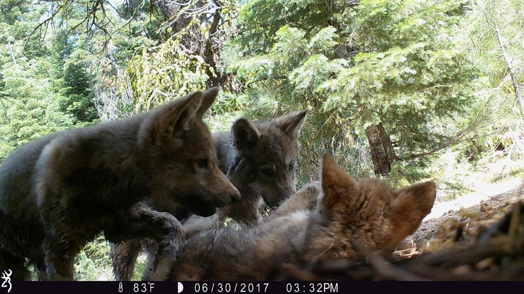 This June 30, 2017, remote camera image released by the U.S. Forest Service shows a female gray wolf and her mate with a pup born this year in the wilds of Lassen National Forest in Northern California. U.S. Forest Service via AP