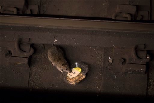 A rat tips a container of nuts next to a rail at the Barclays Center subway station early Friday, July 7, 2017, in the Brooklyn borough of New York.