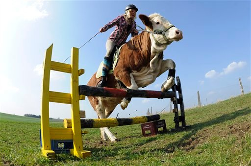 Regina Mayer jumps with her cow Luna over a hurdle in Laufen, southern Germany, on Tuesday, March 29, 2011. (AP Photo / Kerstin Joensson)