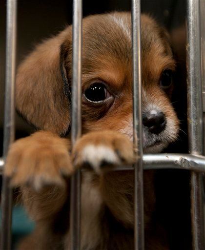 In this photo taken Thursday, May 5, 2011, a dog peers through its enclosure at the Tuscaloosa Metro Animal Shelter in Tuscaloosa, Ala.