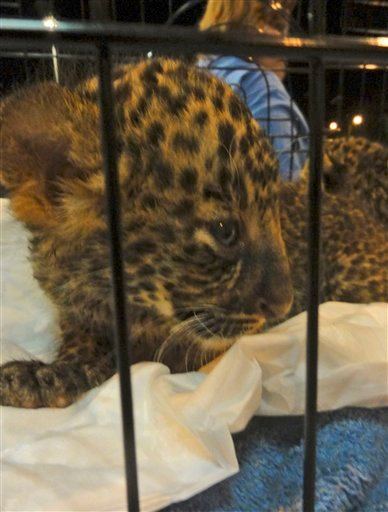 In this photo released Friday, May 13, 2011 by the FREEDLAND Fundation, a leopard cub looks out from a cage after being confiscated by Thai authorities at Bangkok's Suvarnabhumi International Airport.