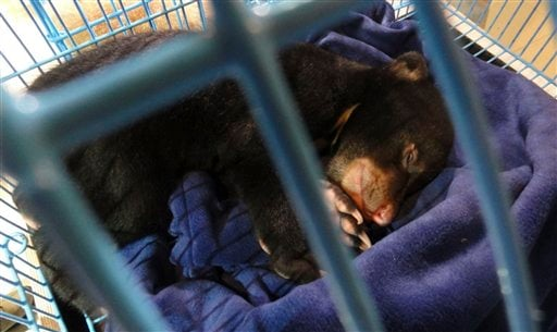 In this photo released Friday, May 13, 2011 by the FREEDLAND Fundation, a bear cub sleeps in a cage after being confiscated by Thai authorities at Bangkok's Suvarnabhumi International Airport.