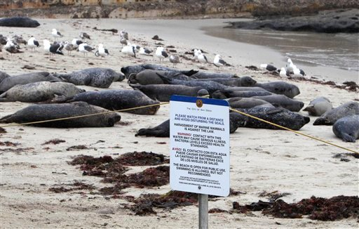 Seals at the Children's Pool beach area in La Jolla, Calif. lounge in the sand behind a rope barrier and an information sign asking the public to not infringe on the seals area Tuesday, May 17, 2011.