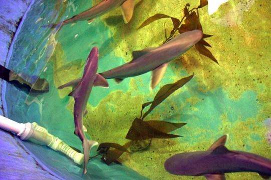 Sharks swim in a basement swimming pool in LaGrangeville, N.Y.