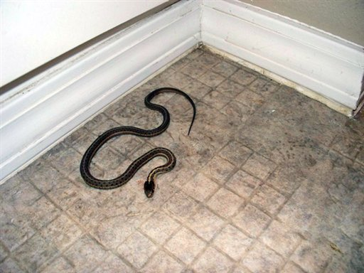 In this Fall 2009 picture provided by Amber Sessions, a snake that the Sessions family caught is seen at the home they purchased near Rexberg, Idaho. (AP Photo/Amber Sessions)