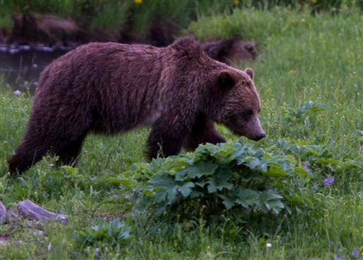 A grizzly bear roams near Beaver Lake in Yellowstone National Park, Wyoming, Wednesday July 6, 2011. (AP Photo/Jim Urquhart)