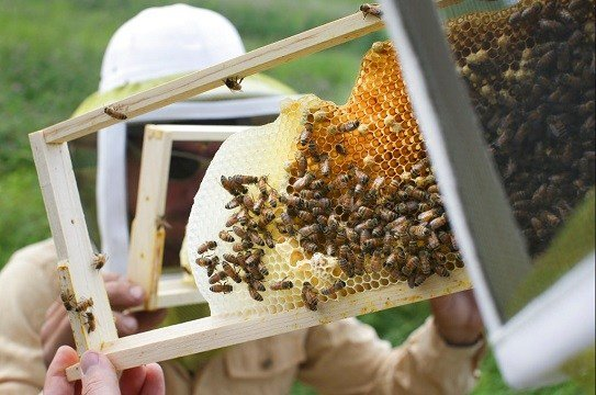 Volunteers check honey bee hives for queen activity and perform routine maintenance.