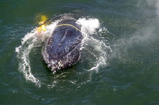 This undated file photo provided by NOAA shows a humpback whale entangled in fishing line, ropes, buoys and anchors in the Pacific Ocean off Crescent City, Calif.