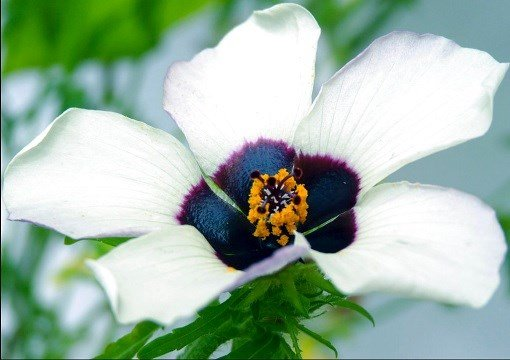 This 2015 photo provided by Edwige Moyroud shows a Hibiscus trionum flower.
